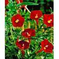 """იპომეა კვამოკლიტი """"Cardinalis"""" (Ipomoea quamoclit Cardinalis) თესლი 10 ცალი"""