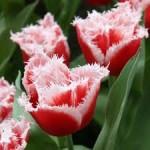 """ტიტა  """"New Santa"""" (Tulipa New Santa) ბოლქვი 5 ცალი"""