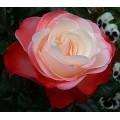 """ვარდი """"NOSTALGIE ®"""" ( Hybrid Tea ROSE NOSTALGIE ®) ზრდასრული მცენარე"""