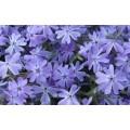 """ფლოქსი """"EMERALD-BLUE"""" (PHLOX SUBULATA EMERALD-BLUE) ზრდასრული მცენარე კონტეინერით"""
