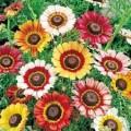 გვირილა  ( Chrysanthemum Carinatum Painted Daisy ) თესლი