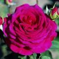 """ვარდი """"Big Purple ®"""" ( HYBRID TEA ROSEBig Purple ®) ნამყენი ნერგი"""