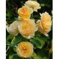 """ვარდი """" Amber Mist """" ( English Rose Amber Mist - Graham Thomas® ) ნამყენი ნერგი"""