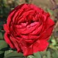 """ვარდი """"Rose des 4 Vents """" (Floribunda ROSE Rose des 4 Vents ) ზრდასრული მცენარე კონტეინერით"""