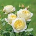 """ვარდი """" Vanessa Bell """" ( ENGLISH ROSE Vanessa Bell ) ზრდასრული მცენარე კონტეინერით"""