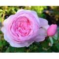 """ვარდი """" Olivia Rose Austin """" ( ENGLISH ROSE Olivia Rose Austin ) ზრდასრული მცენარე კონტეინერით"""