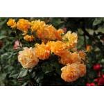 """ვარდი """"GOLDELSE ®"""" ( floribunda ROSE GOLDELSE ®) ზრდასრული მცენარე კონტეინერით"""