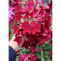 """თამბაქო დეკორატიული """"Crimson Bedder"""" (Nicotiana alata Crimson Bedder) თესლი"""