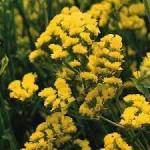 """ლიმონიუმი """"Кермек желтый"""" (LIMONIUM MILL) თესლი"""