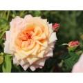 """ვარდი 'BAROCK ®"""" (CLIMBING ROSE """"BAROCK ®"""") ზრდასრული მცენარე კონტეინერით"""