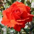 """ვარდი """" Kordes Brilliant """" ( CLIMBING ROSE Kordes Brilliant )  ზრდასრული მცენარე კონტეინერით"""