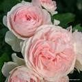 """ვარდი """" larissa """" ( ROSE larissa ) ზრდასრული მცენარე კონტეინერით"""