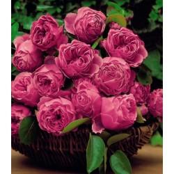 """ვარდი """"LEONARDO DA VINCI ®"""" ( ROSE LEONARDO DA VINCI ® ) ზრდასრული მცენარე კონტეინერით"""