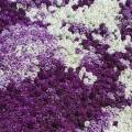 """ალისუმი """" mix"""" (Lobularia Maritima Mix) თესლი"""