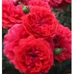 """ვარდი """" Uetersens Rosenkonig """" ( Modern Shrub ROSE Uetersens Rosenkonig ) ზრდასრული მცენარე კონტეინერით"""