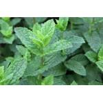 პიტნა მაროკოული  (Mentha spicata var. crispa 'Moroccan') ნერგი კონტეინერით