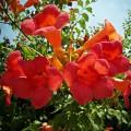 """კამპსისი """"Flamenco"""" (Campsis radicans Flamenco) ნერგი  კონტეინერით"""