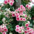 """ვარდი """"Mini Pierre de Ronsard"""" ( ROSE Mini Pierre de Ronsard"""") ზრდასრული მცენარე კონტეინერით"""