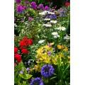 მრავალწლიანი ყვავილები