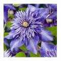 """კლემატისი """"Multi Blue"""" (CLEMATIS """"Multi Blue"""") ნერგი 2 ლიტრიანი კონტეინერით"""