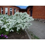 ეუფორბია (Euphorbia marginata) თესლი