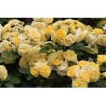 ვარდი  Comtesse Du Barry (Golden Border)  ( FLORIBUNDA ROSE Comtesse Du Barry (Golden Border) ზრდასრული მცენარე კონტეინერით
