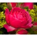 """ვარდი """"MAGIC ROKOKO"""" ( ROSE MAGIC ROKOKO) ზრდასრული მცენარე"""