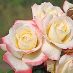 """ვარდი """" Athena """" ( HYBRID TEA ROSE Athena ) ზრდასრული მცენარე კონტეინერით"""
