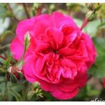 """ვარდი """" Sangria (Sonja Meilove) """" ( Floribunda  ROSE Sangria (Sonja Meilove)  ) ნამყენი ნერგი"""