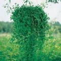 ომბალო (Mentha pulegium) თესლი