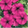 PET 040 პეტუნია (PETUNIA HYBRIDA MULTIFLORA NANA ) თესლი 10 მარცვალი