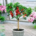 ატამი ჯუჯა ფორმის (Mini peach) ნერგი კონტეინერით