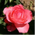 """ვარდი """"Panthere Rose"""" ( ROSE """"Panthere Rose"""" ) ნამყენი ნერგი"""