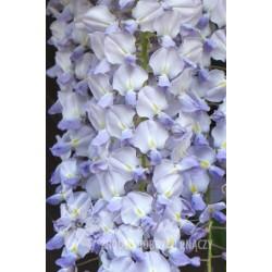"""გლიცინია """"Southern Belle """" (Wisteria sinensis Southern Belle ) ნერგი 8 ლტ. კონტეინერით"""