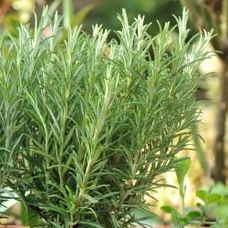როზმარინი (Rosmarinus officinalis) ნერგი კონტეინერით