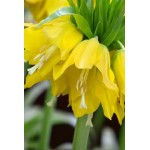 """ფლიტილარია """" Lutea"""" (Fritillaria Lutea) ბოლქვი 1 ცალი"""