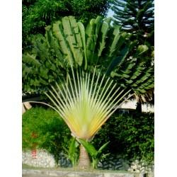რავენალა მადაგასკარული (Ravenala madagascariensis) თესლი 5 ცალი
