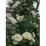 """ვარდი """"UETERSENER KLOSTERROSE ®"""" (CLIMBING ROSE """"UETERSENER KLOSTERROSE ®"""") ზრდასრული მცენარე კონტეინერით"""