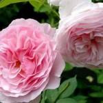 """ვარდი """"GARTENTRAUME ®"""" ( ROSE  GARTENTRAUME ®) ზრდასრული მცენარე კონტეინერით"""