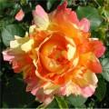 """ვარდი """" Rose des Cisterciens """" ( Modern Shrub ROSE Rose des Cisterciens ) ზრდასრული მცენარე კონტეინერით"""