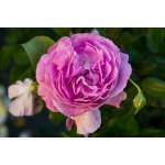"""ვარდი """" SAPHIR ® """" (floribunda ROSE SAPHIR ® ) ზრდასრული მცენარე კონტეინერით"""