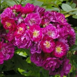 """ვარდი """"PERENNIAL BLUE ®"""" (CLIMBING ROSE PERENNIAL BLUE ®) ზრდასრული მცენარე კონტეინერით"""