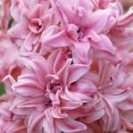"""სუმბული """"Rosette"""" (Hyacinthus orientalis """"Rosette"""") ბოლქვი 1 ცალი"""