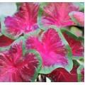 """კალადიუმი """"Royal Flush"""" (CALADIUM Royal Flush) მცენარე კონტეინერში"""