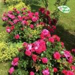 """ვარდი """" Sangria (Sonja Meilove) """" ( Floribunda  ROSE Sangria (Sonja Meilove)  ) ზრდასრული მცენარე კონტეინერით"""