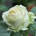 """ვარდი """"WEDDING PIANO"""" ( Hybrid Tea ROSE WEDDING PIANO) ზრდასრული მცენარე"""