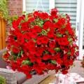 """პეტუნია """"Avalanche F1 Red"""" (PETUNIA HYBRIDA PENDULA GRANDIFLORA """"Avalanche F1 Red"""") ნერგი კასეტებში"""