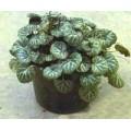 ქვატეხია (Saxifraga stolonifera) ნერგი.