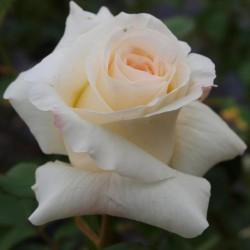 """ვარდი """"SCHNEEWALZER ®"""" (CLIMBING ROSE SCHNEEWALZER ®') ზრდასრული მცენარე კონტეინერით"""