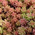 """სედუმი """"  'Coral Carpet"""" (Sedum album 'Coral Carpet') ნერგი კონტეინერით"""